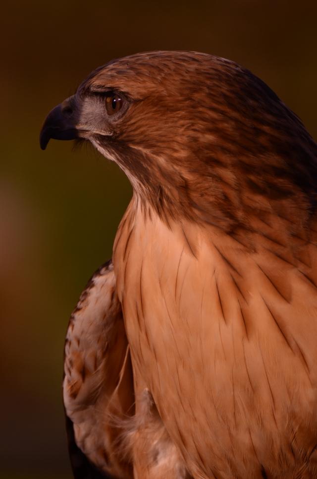 Red Tailed Hawk, Oregon Zoo