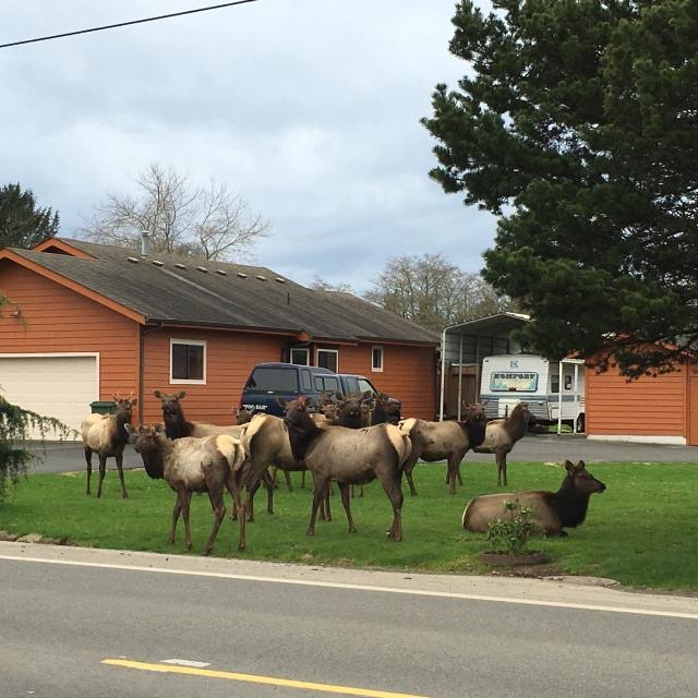 Elk in Warrantor, OR