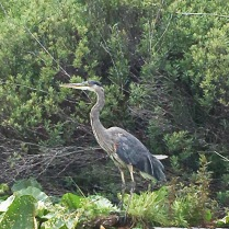 Photo of a Blue Heron on Deep Lake