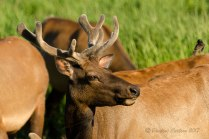 A photo of an elk at the Dean Creek Viewing area in Oregon