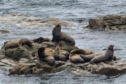 A photo of sea lions at Simpson Reef on the Oregon Coast