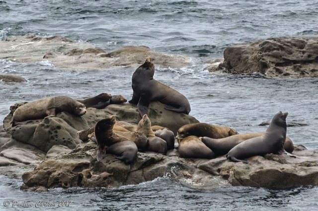 A photo of sea lions at Simpson Reef on the Oregon Coast