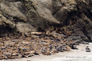 A photo of sea lions at Simpson Reef on the Oregon Coast taken with a Sigma 150-600mm lens