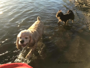 Dogs playing in the river.